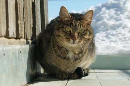 a young cat in the winter on the street basking in the sun in a clear frosty weather next to a wooded barn and a bunch of white snow