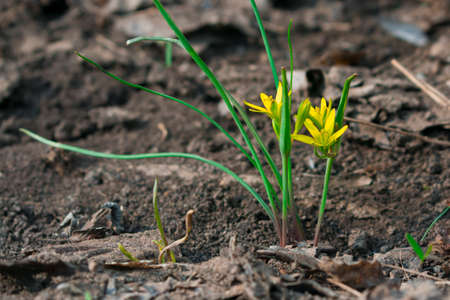 Goose onion Gagea , the first yellow little spring flower in the garden Stock fotó