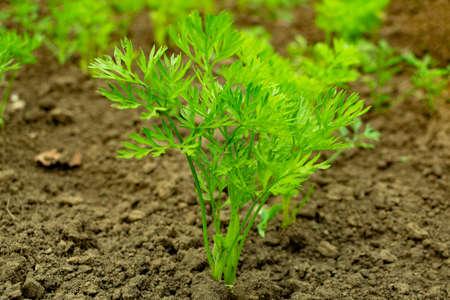 junge grüne Karottenspitzen, die auf einer Nahaufnahme eines Gartens wachsen