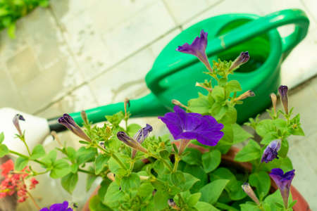 flowers of blue petunia in a flowerpot with a garden watering can in the background, out of focus
