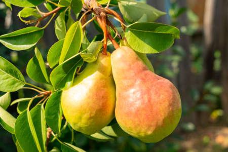 twee rossige peren zingen op een boomtak, close-up