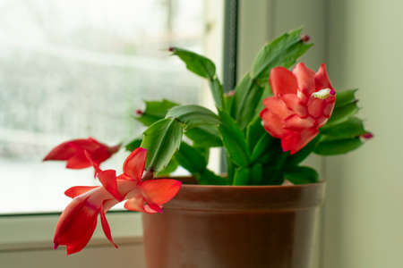 small potted plant, Schlumberger flower with red buds, on the window Stockfoto