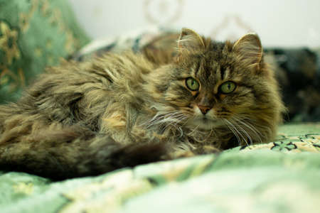 elderly cat is lying on the couch and resting