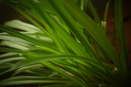 thin long green leaves of chlorophytum close up