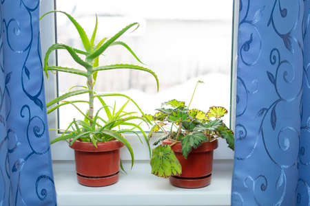 houseplants, aloe and begonia, on the window with blue curtains