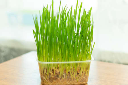 sprouted oats, grass for cats grows in a container on the windowsill