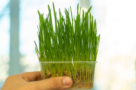 keep in hand germinated oats, grass for cats grows in a container