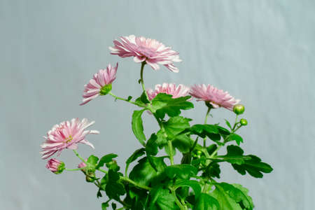 blooming bush of chrysanthemums on the background of the light wall