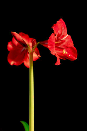 Closeup of pale red amaryllis flower on black background Two big blossoms.