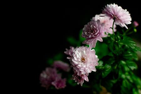 chrysanthemum flower on a black background Imagens