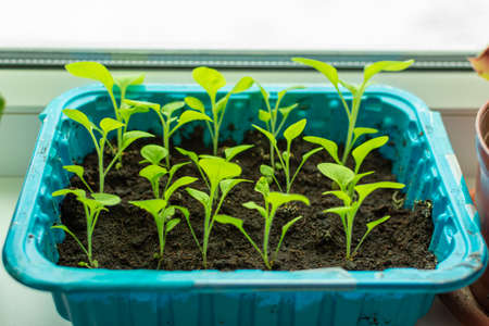Young petunia seedlings. Independent cultivation of petunias from seeds.