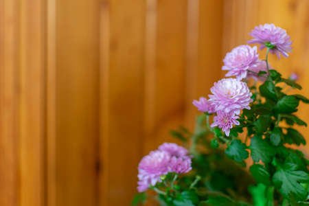 bush blooming pink chrysanthemum with space for text