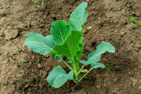 young seedlings of cabbage in spring on a bed