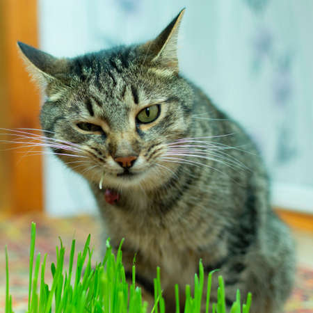 the cat at home eats grass, sprouts of oats for their health