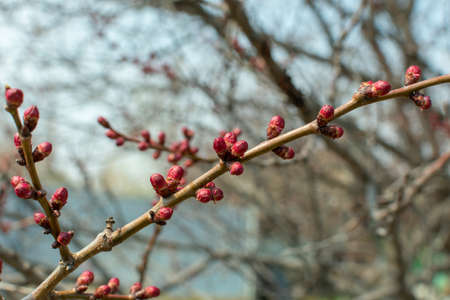swollen buds with flowers on a tree Imagens