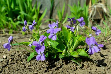 Viola odorata - Sweet Violet, English Violet, Common Violet Imagens