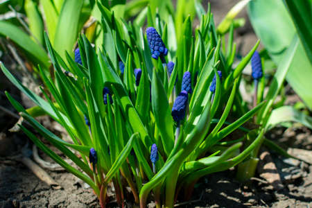 Blue muscari flower bushes on a flower bed on a spring Imagens