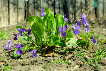 Viola odorata - Sweet Violet, English Violet, Common Violet 写真素材