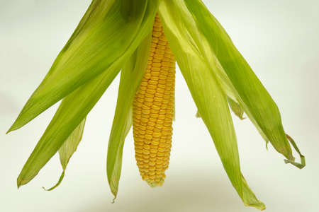 an ear of sweet corn with green leaves, loose in different directions
