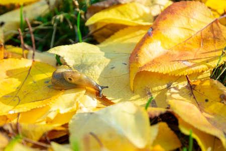 slug creeping in autumn on a yellow fallen leaf