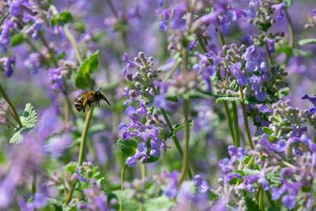 Bumblebee on lavender
