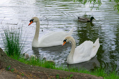 married couple of white swans with chicks swim in the pond