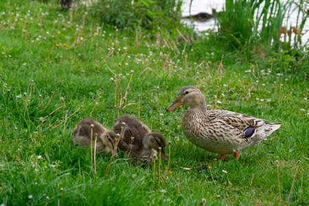 duck with little chicks at the pond