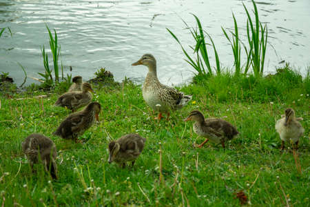 duck with little chicks at the pond eat grass