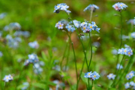 Myosotis sylvatica blossoms