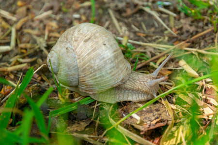 large grape snail crawling on grass in the forest
