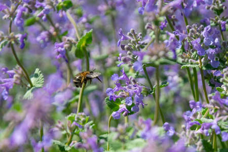 bumblebee collects pollen from blue flowers