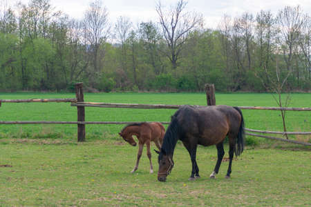 a horse with a foal grazes in a corral on a green meadow