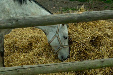 Close up of dapple grey horse eating hay in his field in the english countryside.