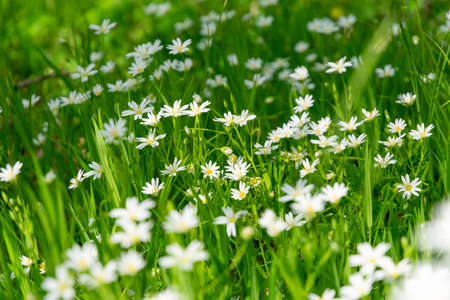 Meadow with white blooming Stellaria holostea