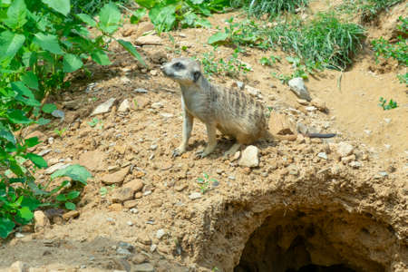 a couple of meerkats look around, next to their burrow in the steppe ...
