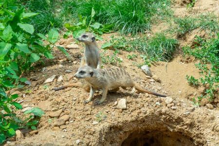 a couple of meerkats look around, next to their burrow in the steppe