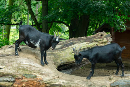 two black goats butting while standing on a fallen tree trunk Standard-Bild