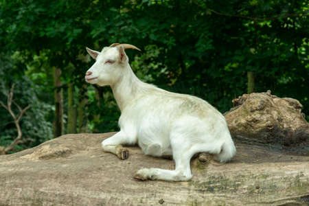 a white horned goat lies and rests on the trunk of an old fallen tree