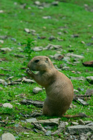 steppe gopher climbed out of the hole and eats, standing on its hind legs Standard-Bild