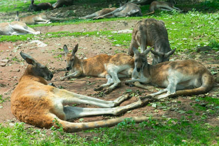 The herd of the kangaroos resting in the shade Standard-Bild
