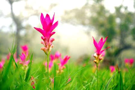 Siam Tulip flower in the field photo