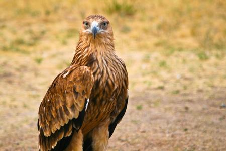 aquila: Big steppe eagle (Aquila nipalensis) in Kazahstan
