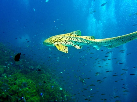 Leopard shark swimming in blue water of Andaman Sea around Phi Phi islands, Thailand