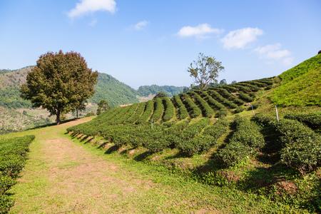 Tea plantation at Doi Mae Salong, Chiang Rai, Thailand photo