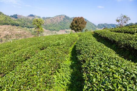Tea plantation in Mae Salong village in Thailand photo