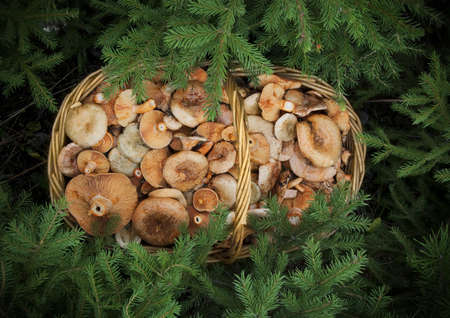 basketful: basketful of mushrooms under the branches of spruce Stock Photo