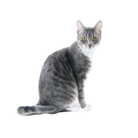 silver grey tabby cat with white chest and paws isolated on white background