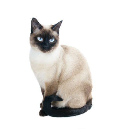white cats: a thai cat is a traditional or old-style siamese cat