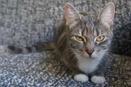 grey tabby: silver grey tabby cat