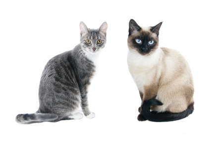 siamese: silver grey tabby housecat and seal point siamese cat